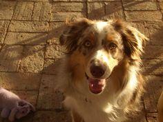 Cody, Australian Shepherd  One happy playful pal.