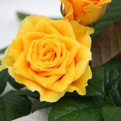 Pirol    Keltainen ruusu on mielestäni maailman kaunein. se on erikoista koska muutenhan inhoan keltaista väriä. Rose, Flowers, Plants, Pink, Plant, Roses, Royal Icing Flowers, Flower, Florals