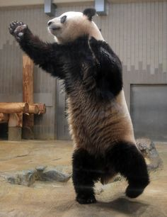 Too cute to resist: This panda loves to dance.