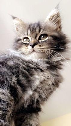 Cat portrait @yummypets #mango #persian