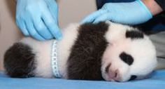 Vote to Name the National Zoo's Panda Cub! | Special Reports | Smithsonian Magazine