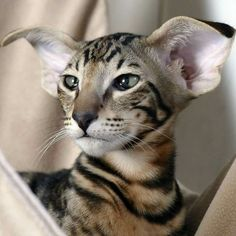 Pretty Cats, Beautiful Cats, Animals Beautiful, Dobby Cat, Oriental Cat Breeds, Oriental Shorthair Cats, Exotic Cats, Puppies And Kitties, Cat Photography