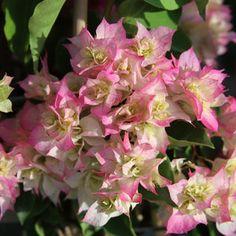 'Cherry Blossom' bougainvillea
