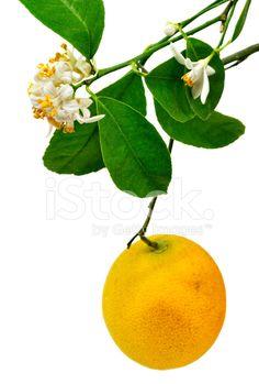 7470497-lemon-tree-flower-and-fruit.jpg (691×1024)