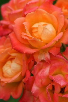 Roses would have to be my favourite flower of all time - their beautiful perfume, rainbow of colours and gorgeous shape are guaranteed to lift my mood everytime :) #Endeavour College of Natural Health #Pin,Win,Spin,Grin