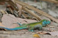 Rainbow Whiptail (Cnemidophorus lemniscatus) Exported from Colombia in the 1960s, this lizard is now naturalized in parts of South Florida.