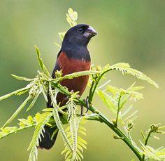 Chestnut-bellied Seed-Finch, by Celuta Machado