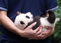 I would REALLY REALLY love a Baby Panda for my birthday.