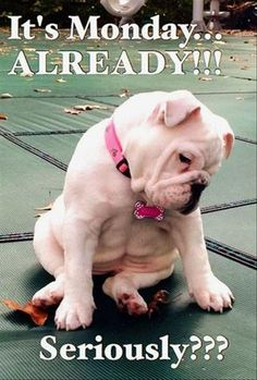 Funny Animal Pictures Of The Day 27 Pics - - Funny Animal Pictures Of The Day 27 Pics Stephanie♀️… Lustige Tierbilder des Tages 27 Bilder Bulldog Puppies, Cute Puppies, Cute Dogs, Dogs And Puppies, Doggies, Bulldog Pics, White Bulldog, French Bulldog, Baby Animals