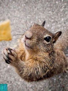 22 Squirrels That Are So Animated You Would Think They Were Human - I Can Has Cheezburger? 22 Squirrels That Are So Animated You Would Think They Were Human - World's largest collection of cat memes and other animals Funny Animal Pictures, Cute Funny Animals, Cute Baby Animals, Animals And Pets, Funny Squirrel Pictures, Wild Animals, Cute Squirrel, Squirrels, Hamsters