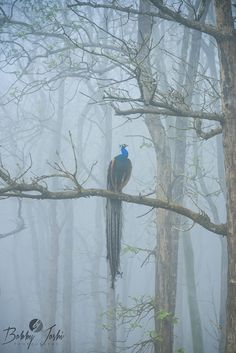 Peacock in the misty woods  (by Bobby Joshi on 500px)