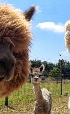 Dream Catcher Alpaca Farm | Travel | Vacation Ideas | Road Trip | Places to Visit | Oxford | MI | Offbeat Attraction | Handmade Goods | Zoo | City Park