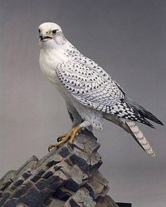 Gyrfalcon (Falco rusticolus) Incredibly intelligent birds. Finished a great fiction novel titled Hawkhunter, exciting historical view of man's effort to find this valuable and rare bird. CH.
