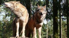 Petition · Niedersächsisches Ministerium für Umwelt Energie und Klimaschutz Herrn Stefan Wenzel: Mit dem Menschen! - Für den Wolf! · Change.org