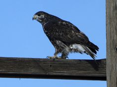 http://schmoker.org/BirdPics/Photos/Raptors/HRLH__3.jpg