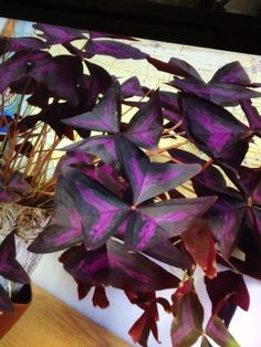 Purple Leaf Oxalis (oxalis triangularis): This appears to be the perennial plant, purple leaf oxalis, that can be grown as a garden annual (in full or partial sun) or as a houseplant in a sunny window. Needs regular water. It is a much better behaved Oxalis than other varieties. Do not allow plant to sit in water as this may lead to root rot. Feed with a slow-release fertilizer formulated for container plants. The rhizome can be divided to make new plants.