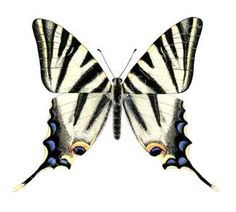 watercolour paintings of butterflies | ... Spanish swallowtail butterfly-original lifesize watercolour painting