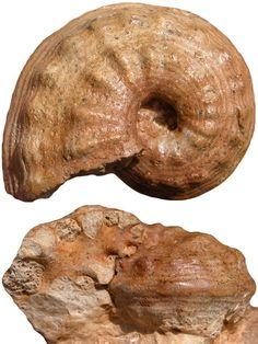 PHLYCTICERAS sp - jsdammonites