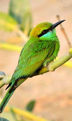 Green Asian Hummingbird