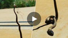 Un agriculteur australien a récemment retrouvé dans sa propriété le cadavre d'un serpent venimeux pendu par la...