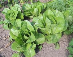 romaine, cos, lettuce, pictures, images, jpgs