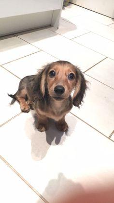 mini shaded cream dachshund #dachshund