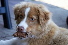 Australian Shepherd Photo of the Month — Photo: Michael Twesten, Aussie: Houston