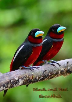 black and red broadbill - Google Search