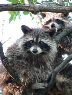 The original habitats of the raccoon are deciduous and mixed forests, but due to their adaptability they have extended their range to mountainous areas, coastal marshes, and urban areas, where some homeowners consider them to be pests.