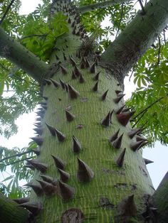 Ceiba Tree, tree of life.:: Fifth Sun Journeys ::.