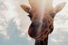 Imagem de giraffe, animal, and sky