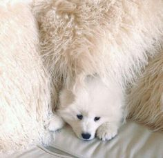 Hiding samoyed