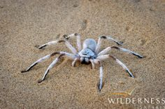 Serra Cafema Camp - The dancing-white lady spider is an interesting critter which occurs in the area. Bugs And Insects, Africa Travel, World Traveler, Spiders, Wilderness, Safari, Dancing, Husband, Earth