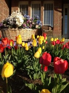 Tips for growing Tulips