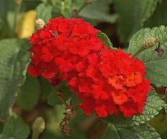 Lantana, Marigolds, Chrysanthemums, and Lavender get rid of Mosquitos and keep them away. Red Lantana above.