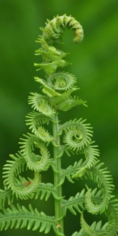 A fiddlehead unfurls, reaching up in praise to it's glorious Creator!