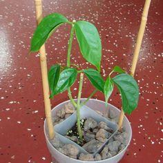 Hoya linusii Cutting [SRQ 3312] - $38.00 : Buy Hoya Plants Online in Many Species from SRQ Hoyas Today!