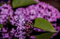 ----------> Lilac <----------- ( flower )