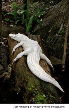 White alligator – Rare albino spotted resting. He is definitely one that will get a lot of attention.