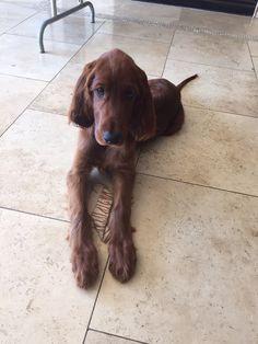 Bentley my Irish setter puppy Cute Dogs And Puppies, Baby Puppies, Irish Setter Dogs, Scottish Deerhound, Most Beautiful Dogs, Irish Terrier, Irish Wolfhound, Red Dog, Dog Art