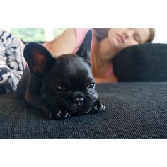 French Bulldog depression