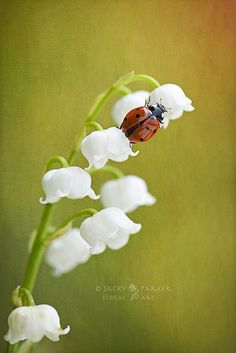 lady bug on lily of the valley