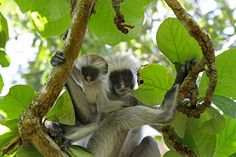 Colibus Monkeys, Zanzibar... So this is where that guy from limp bizkit got his look from