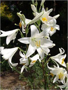 Liliom - Növények gondozása