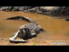 Nile Crocodile eating a fresh water eel in the Sabie river, Kruger National Park. Crocodile Eating, Nile Crocodile, Kruger National Park, National Parks, Amazing Animals, African Safari, Wildlife Photography, Habitats, Cool Photos