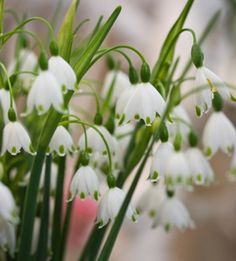 Tiny white flowers flower inspiration for millinery projects grenadine flower leucojum vernum snowflakes so pretty clusters of tiny white bell shaped mightylinksfo