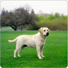 Mind Blowing Facts About Labrador Retrievers And Ideas. Amazing Facts About Labrador Retrievers And Ideas. Perro Labrador Retriever, Labrador Noir, Golden Labrador, Black Labrador, Retriever Puppies, Spaniel Puppies, Black Labs, Lab Puppies, Cute Puppies