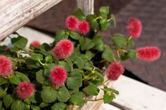 If you're looking for an unusual plant for your garden, a novelty plant or for a new idea for a hanging basket to bring inside for the winter, try growing chenille plants. Learn more about growing them in this article.