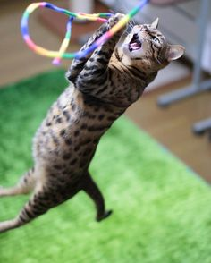 """aosorafuu.888: """"Nothing can get away from me. Got cat feather toy Bengal cat Kai(海)-chan  かいちゃんは狙った猫じゃらしは絶対に掴みます よっしゃかいちゃんの必殺! ミラクルジャンプ キマった  #cat #ねこ #ふわもこ部 #catsofinstagram #WeeklyFluff #cats_of_world #catsofworld #catstocker #excellent_cats #igcutest_animals #IGersJP #icu_japan #magnificent_meowdels #meowbox #cutepetclub #meowsandwoofs #meowvswoof #pets_of_our_world #pets_perfection #club_of_cats #7catdays #INSTACAT_MEOWS #FUNPETLOVECLUB #bestmeow #INK361_collabs #canon #IG_Bengals…"""