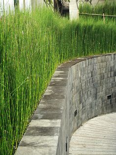 Horsetail reed for redeeming area of riverfront with chunks of broken wall